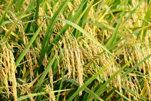 Study on selection of rice varieties for resistance to the whitebacked planthopper(Sogatella furcifera Horvath) in Central Vietnam