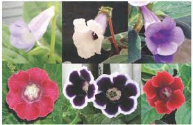 In-vitro propagation and nursery cultivation of Gloxinia (Sinningia speciosa) in Thua Thien Hue Province