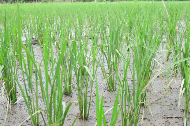 Selection of salinity-tolerant rice varieties for the Central Coastal region